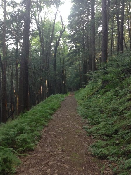 Nice flat portion of trail through hemlocks.