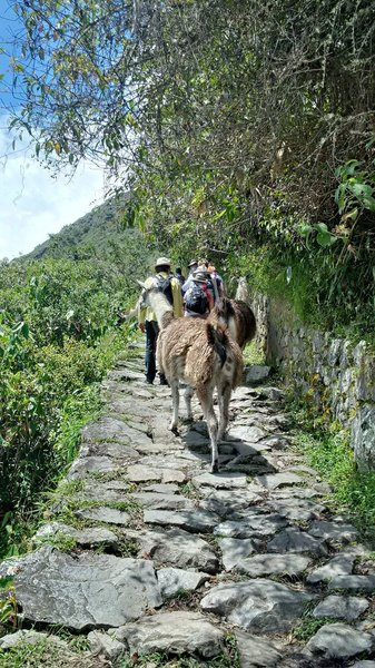 Llamas share the trail on the way up to the Sun Gate. They are bigger than they look - watch your step so they don't bump you off the trail. Note the paving stones - the surface can be uneven at times.