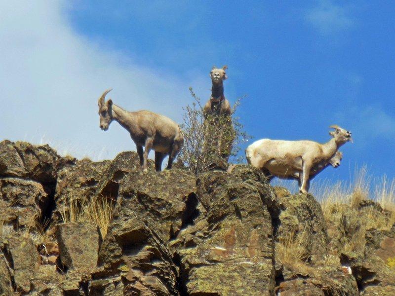 Big Horn Sheep above Asotin Creek Trail.