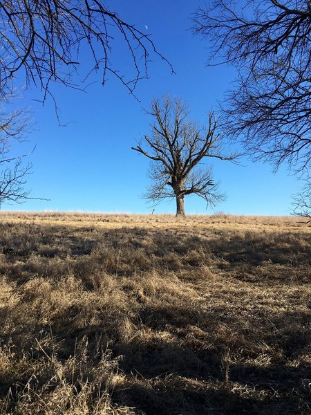 A lone tree in a field along the Red Trail in Shawnee Mission Park.