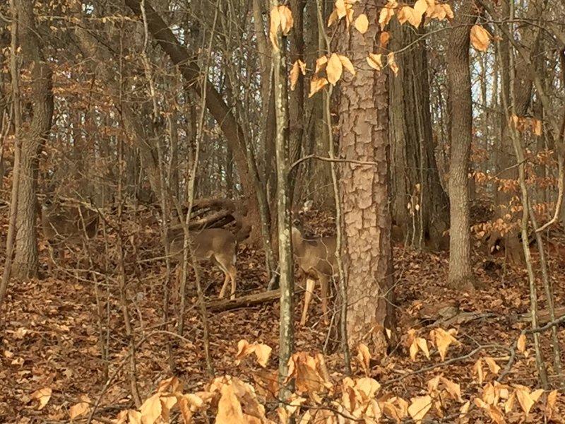 Deer at Salem Lake