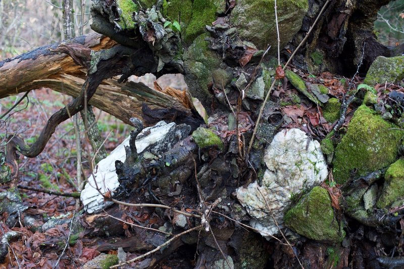 The area is rocky as evidenced by the trees that fall over having rocks intertwined with the roots.