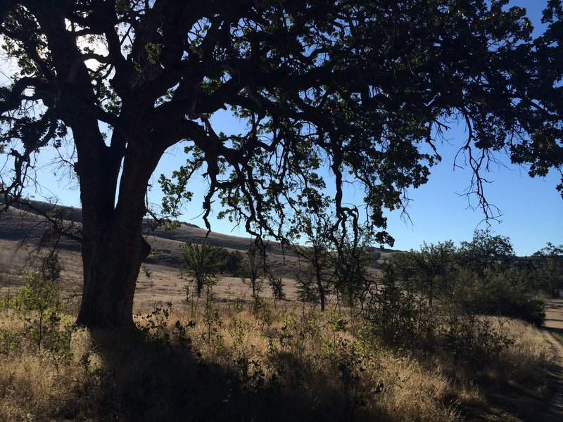 Cheeseboro Canyon is full of old beautiful oak trees.