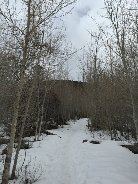 Aspens in the winter on the Mosca Pass Trail.