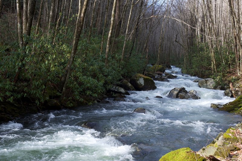 After winter rains, the Bradley Fork roars downstream.   It follows the trail for four miles before it breaks away and climbs steeper to the ridge.