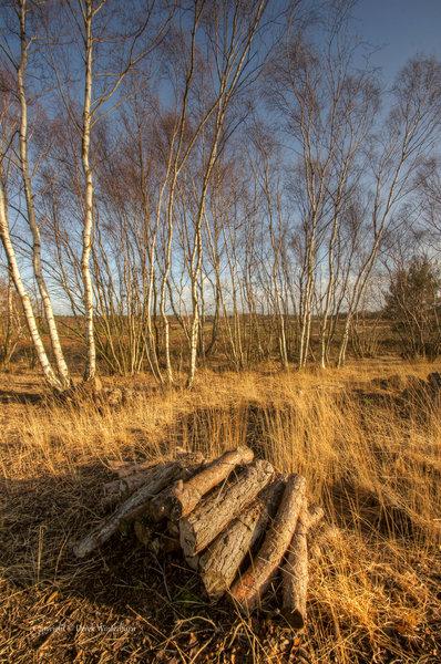 Silver birch stand.