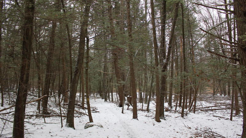 Section of Hemlock Trees.