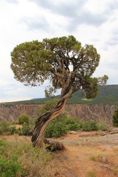 Juniper tree near the top of the canyon