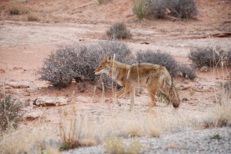 Canyonlands Coyote