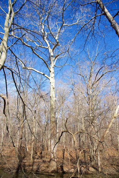 A great looking sycamore along the Galien River.