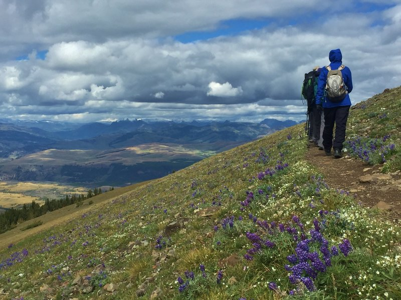 Hikers head east from Mount Washburn summit through fields of purple lupine.