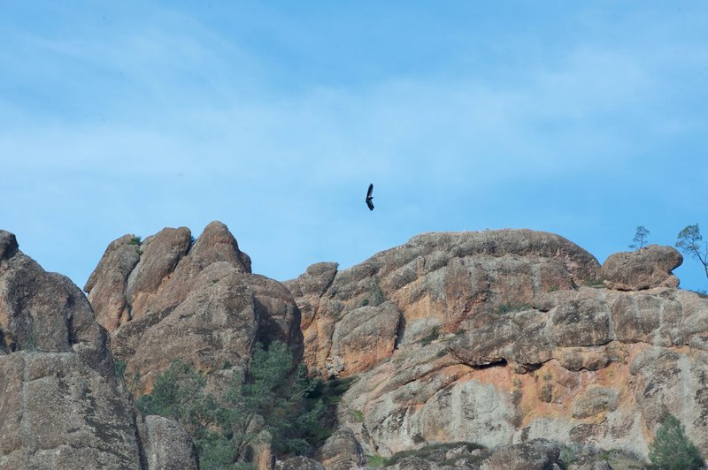A California Condor soars above the volcanic peaks of Pinnacles National Park.