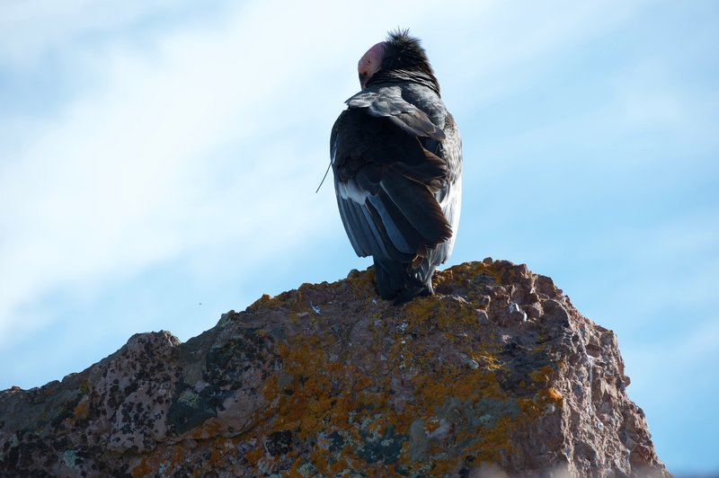 California Condor hanging out on the high peaks trail.