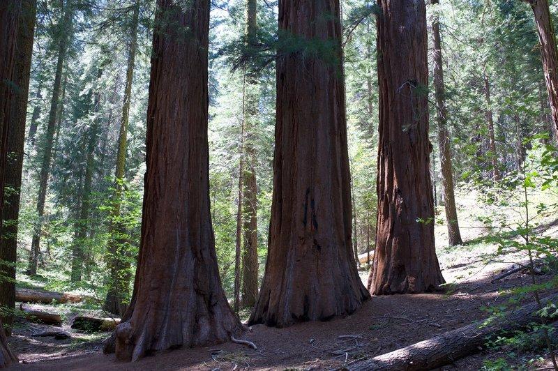 Giant Sequoia trees.