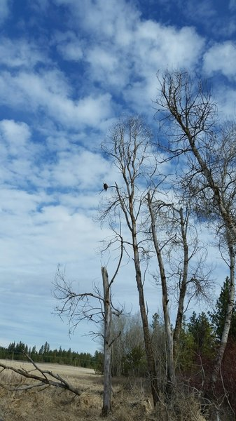 Bald eagle looking for lunch.