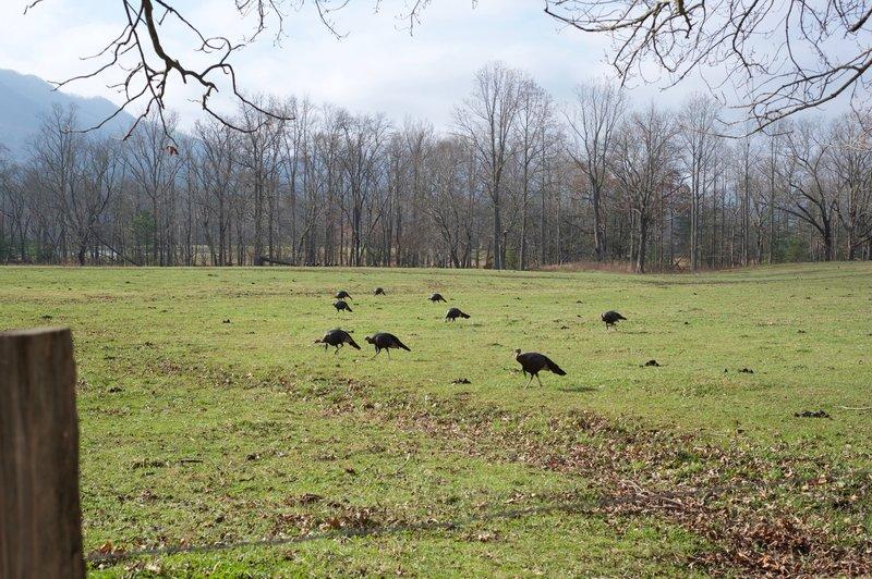 Turkeys feeding in the fields near the Rich Mountain Loop.