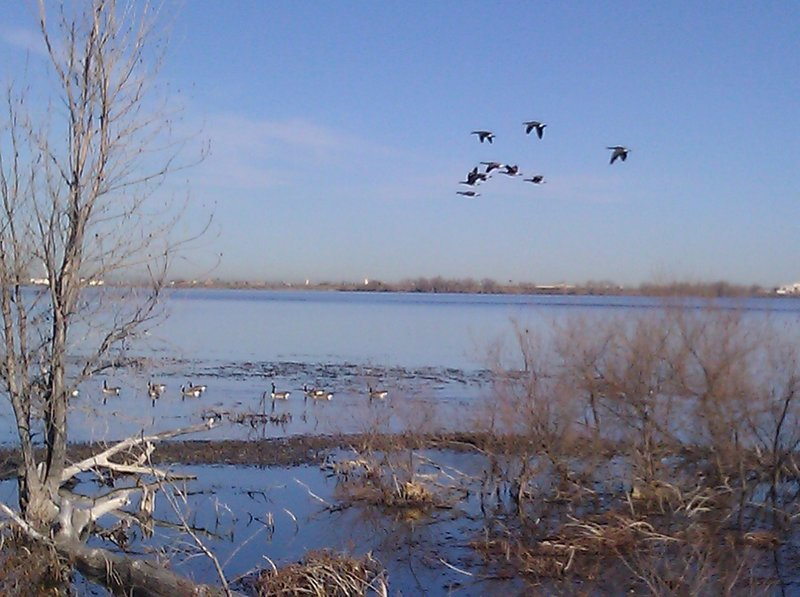 Lots of Geese visible from the blind near the Barr Lake Perimeter Trail.