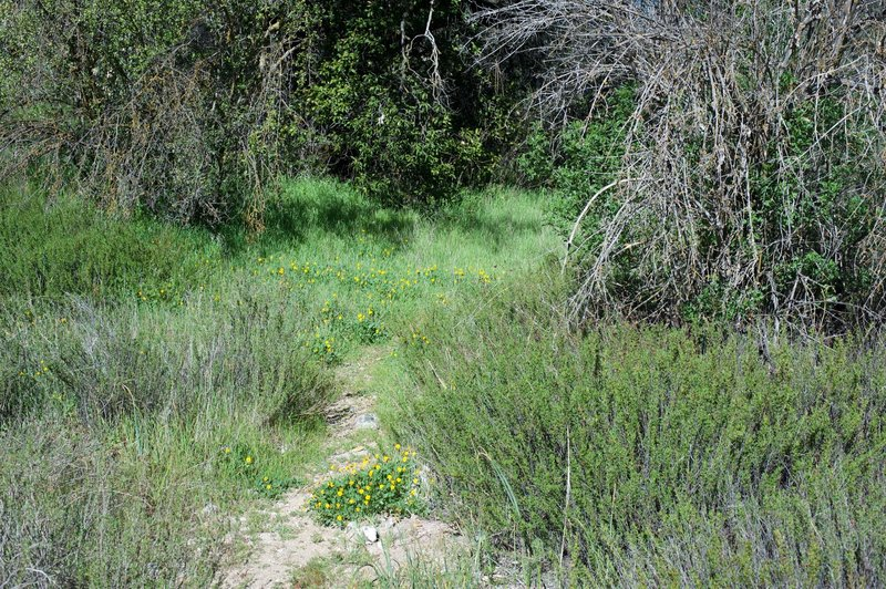 Yellow wildflowers can be found along shaded and well watered areas on the North Wilderness Trail.