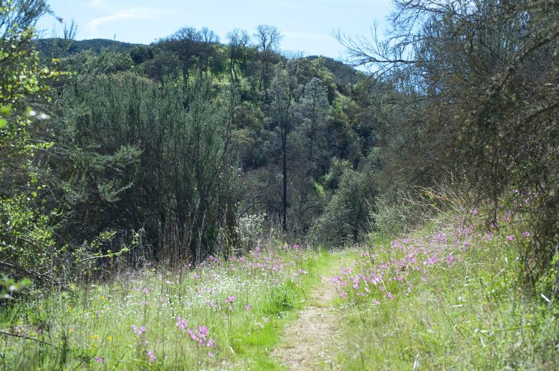 Purple wildflowers line the North Wilderness Trail through this section as it climbs up the mountain.