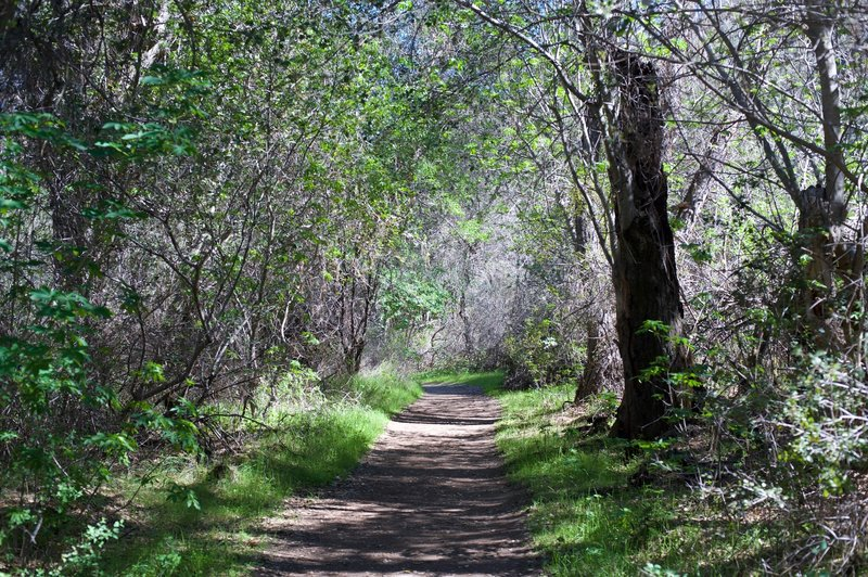 The Old Pinnacles Trail as it works under the trees.  This path is fairly wide through this part of the park.