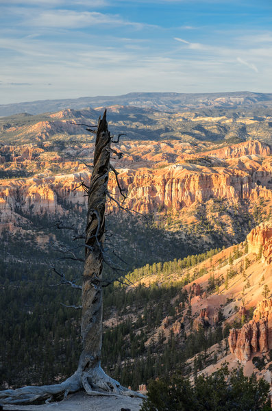 The remnants of a bristlecone pine tree at Bryce Point.