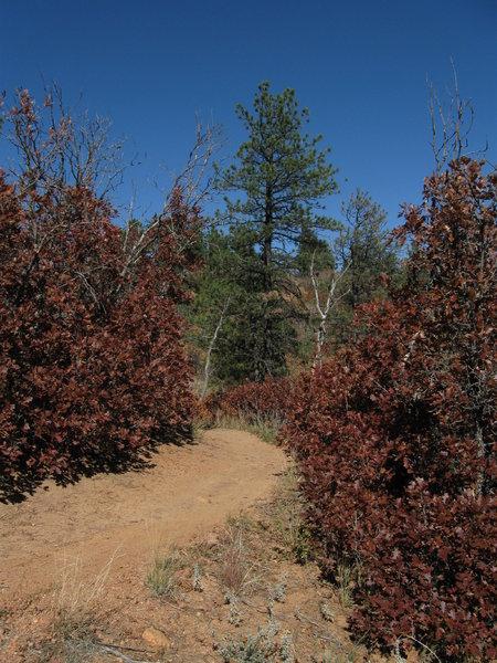 Rusty red scrub oak on the Falcon Trail.