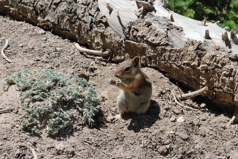 Another friendly visitor at Cedar Breaks.
