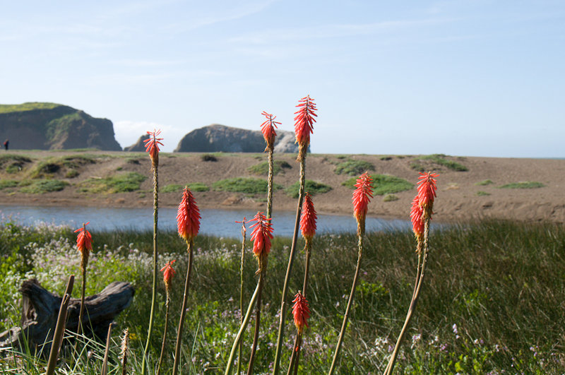 Flowers along Rodeo Beach in Marin Headlands. with permission from Frank_Richards