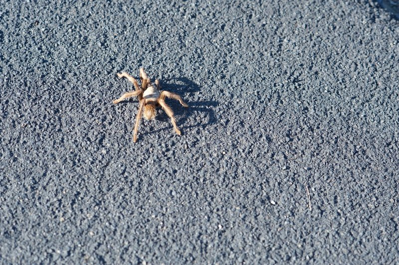 Tarantula on the trail.  In the winter, they can be found on and beside the trail, so watch where you step.