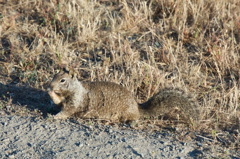 Squirrel feeding on grass seeds along the trail.
