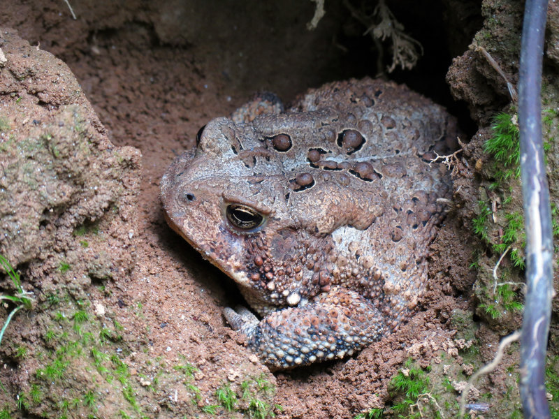 Fowler's Toad.