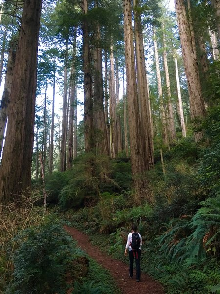 Great trail through amazing redwoods