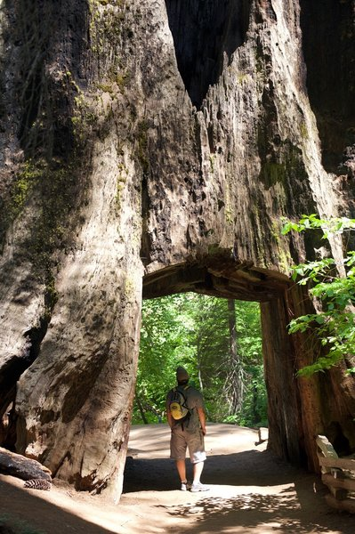 Tunnel Tree in the Tuolumne Grove of Giant Sequoias.