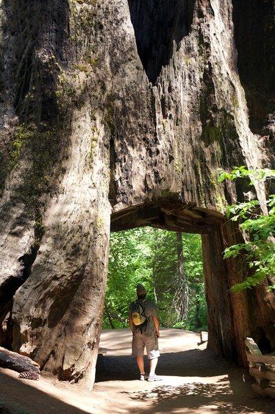 Tunnel Tree in the Tuolumne Grove of Giant Sequoias.