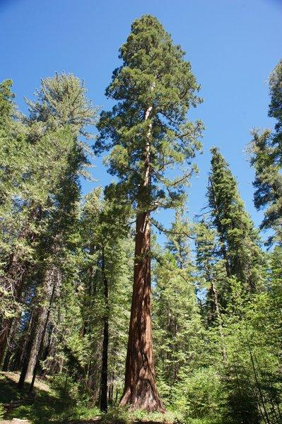 One of the giant trees in the Tuolumne Grove of Giant Sequoias.