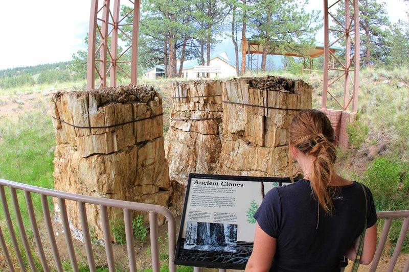 Ancient Clones Redwood.