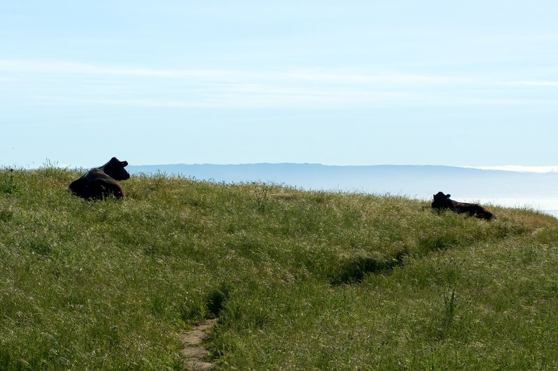 Overlooking the Bay with some bovine company.