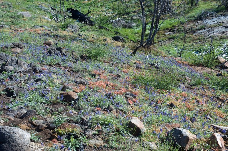 Wildflowers bloom in the spring time as the area recovers from the Big Meadow Fire in 2009.