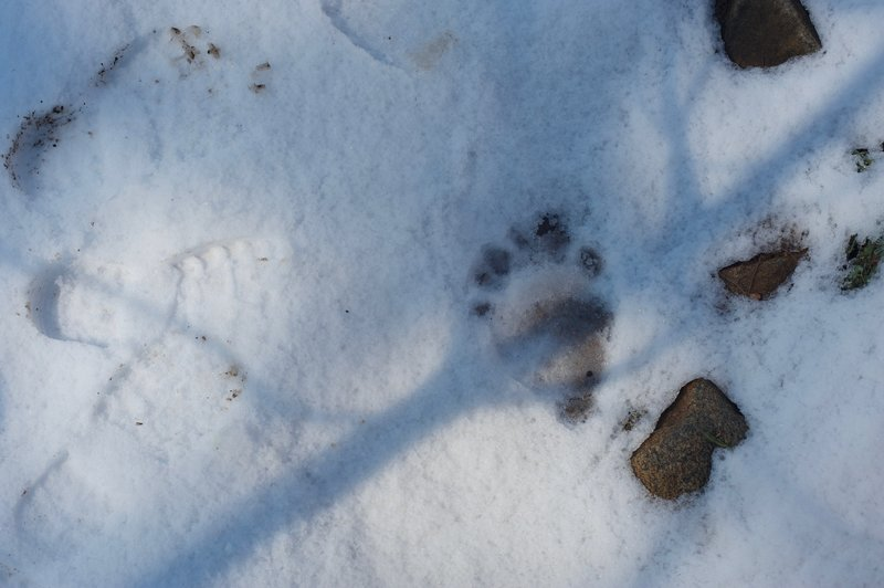 Bear tracks in the spring mean that hibernation season is over.