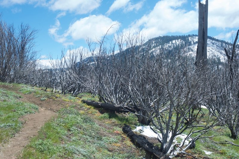 The narrow trail works through the area as it recovers from the Big Meadow Fire in 2009.