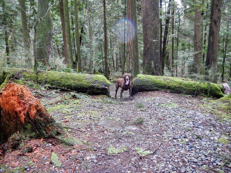 Path cut through a fallen tree.