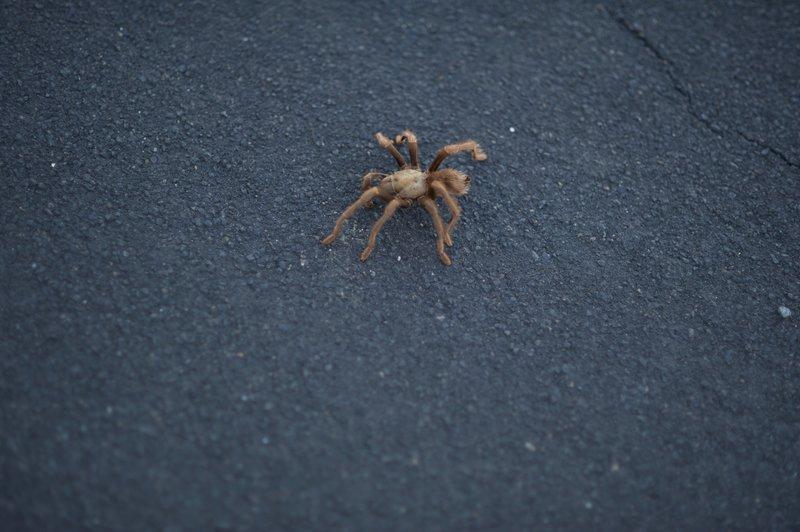 A tarantula along the trail.