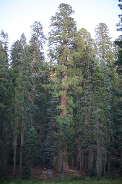 Large trees along the Crescent Meadow Tharps Log Trail.