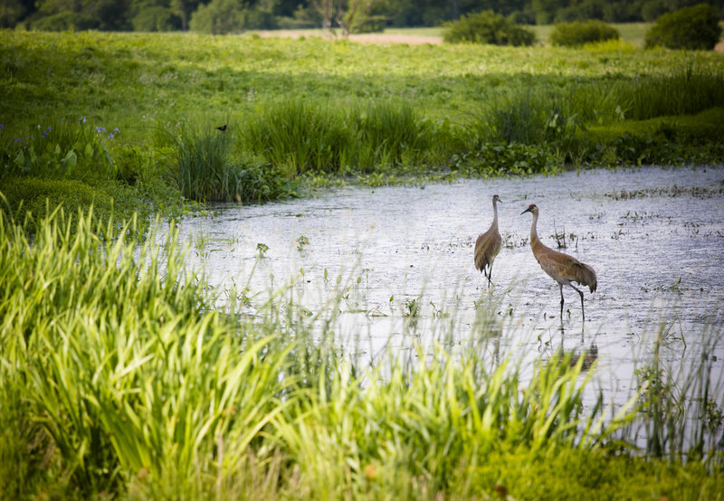Sandhill cranes using one of the wetland areas.