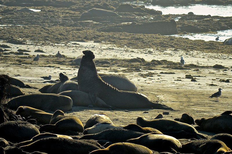 An Alpha elephant seal is seen near Franklin Point claiming his territory!