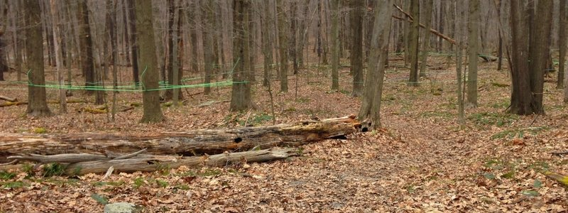 From February to March the Jennings Environmental Center collects sap from +50 maple trees in this brief section of trail. You'll need to pass under any tubes, being sure not to disturb.