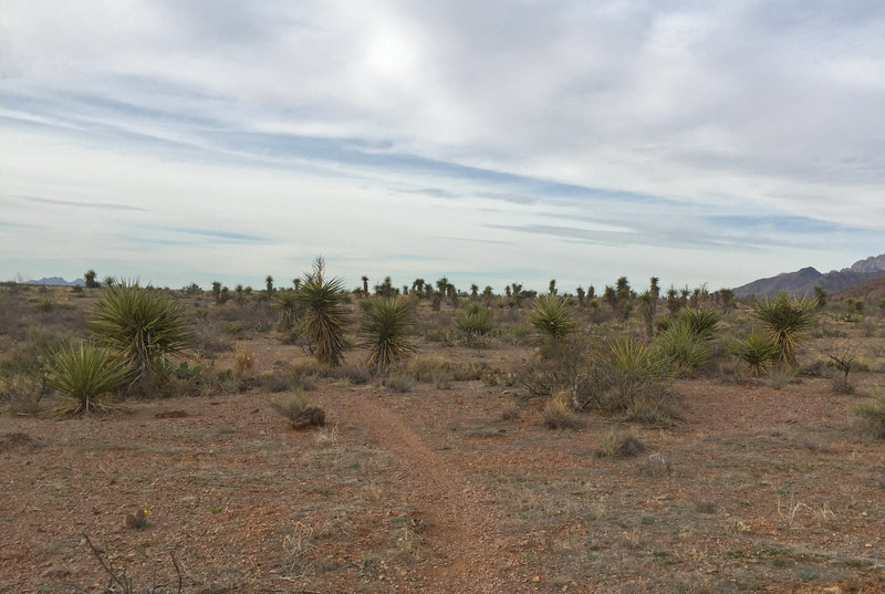 The Wilderness Study Area of the Sierra Vista Trail is unexpectedly verdant. Hundreds of desert plants surround the path, including the Spanish daggers seen here. Devastated by an unusually cold winter a few years ago, they're now making a comeback and will soon grow up to twenty feet in height.