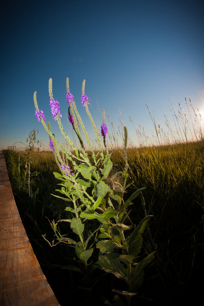 The prairie in bloom in Badlands.