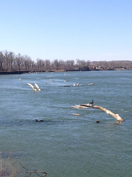 Snags (downed cottonwood trees) in the Missouri River. These were a major problem during the era of steamboat travel.