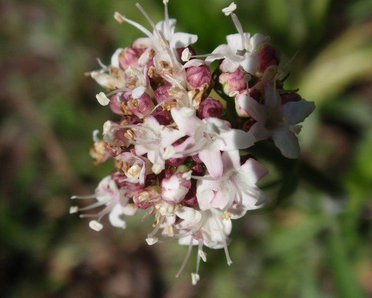 Spring flowers near the Stevenson Trail.